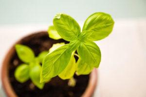 तुलसी का पौधा – कर देता हैं भविष्यवाणी