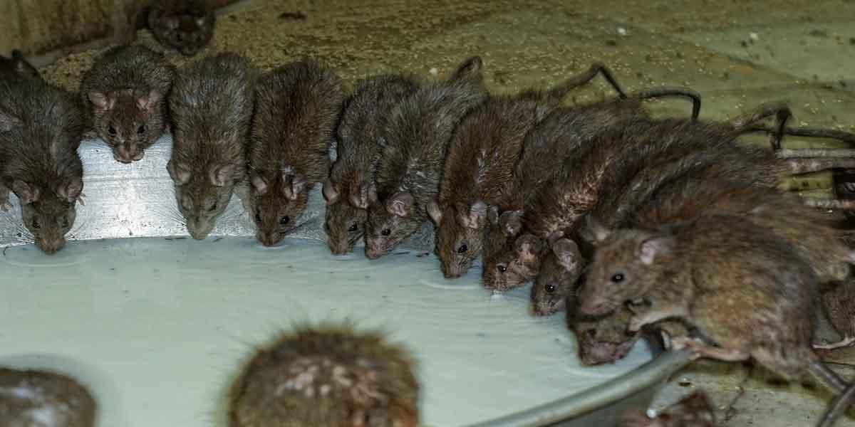 चूहे के जूठे प्रसाद की अनोखी दास्तां