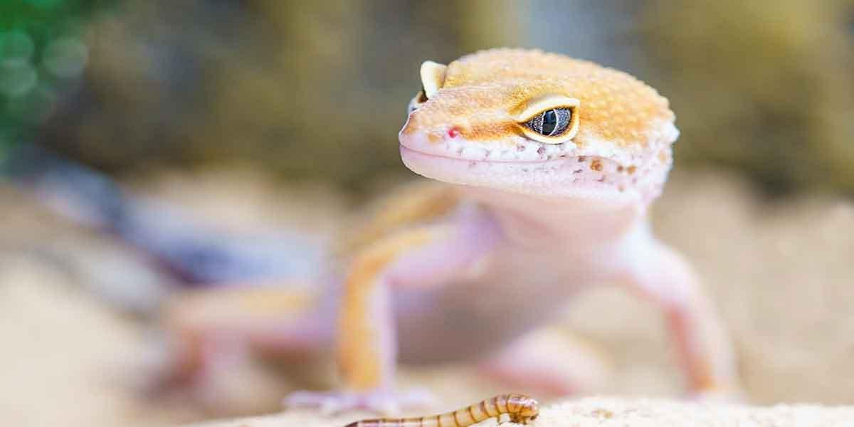 सपने में छिपकली देखने का मतलब - Lizard in