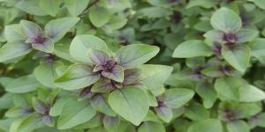 दैवीय गुणों से भरपूर यह पौधा देता है शुभ व अशुभ का संकेत