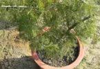 शमी वृक्ष कैसे है लाभकारी, जानें इसका धार्मिक महत्व
