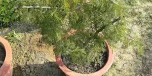 शमी वृक्ष कैसे है लाभकारी, जानें इसका धार्मिक महत्व!