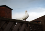 कबूतर का घर में घोंसला बनाना शुभ या अशुभ