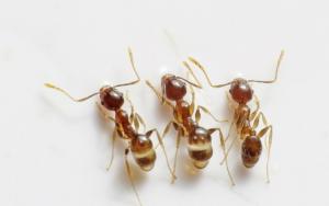 घर में चींटियों का आना होता है शुभ या अशुभ!