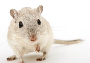 चूहा का सपना कैसे बना सकता है आपको अमीर!